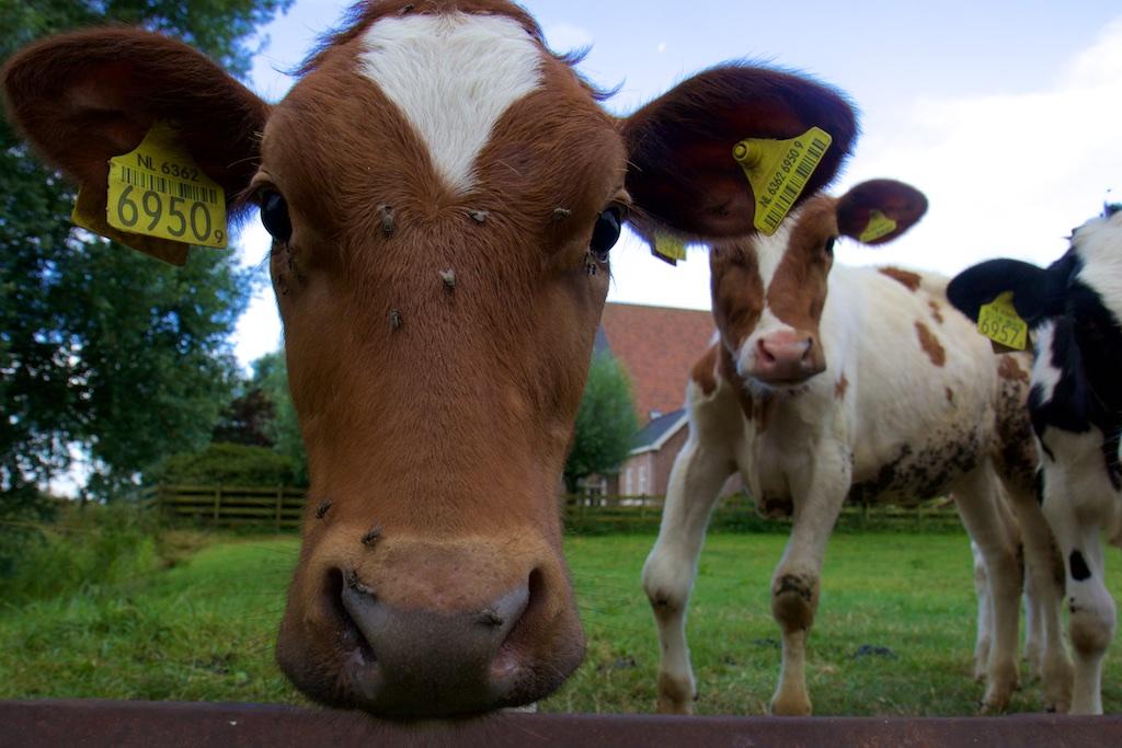 Waarom zijn koeien 'milieuramp', maar biobrandstoffen niet?